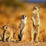 Walk among the meerkats and emus of Somerset (©Charlesjsharp/Wikimedia)